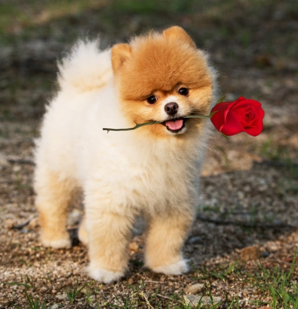 Pomeranian Puppy with Flower